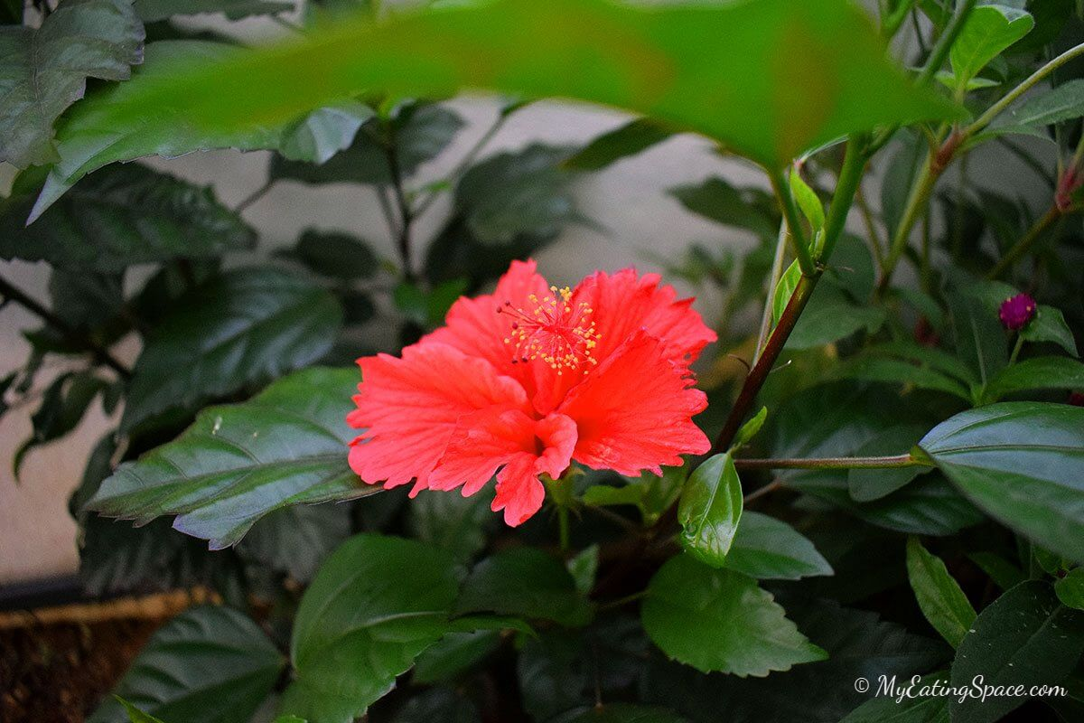 Hibiscus Flower Drink Fresh Summer Drink My Eating Space